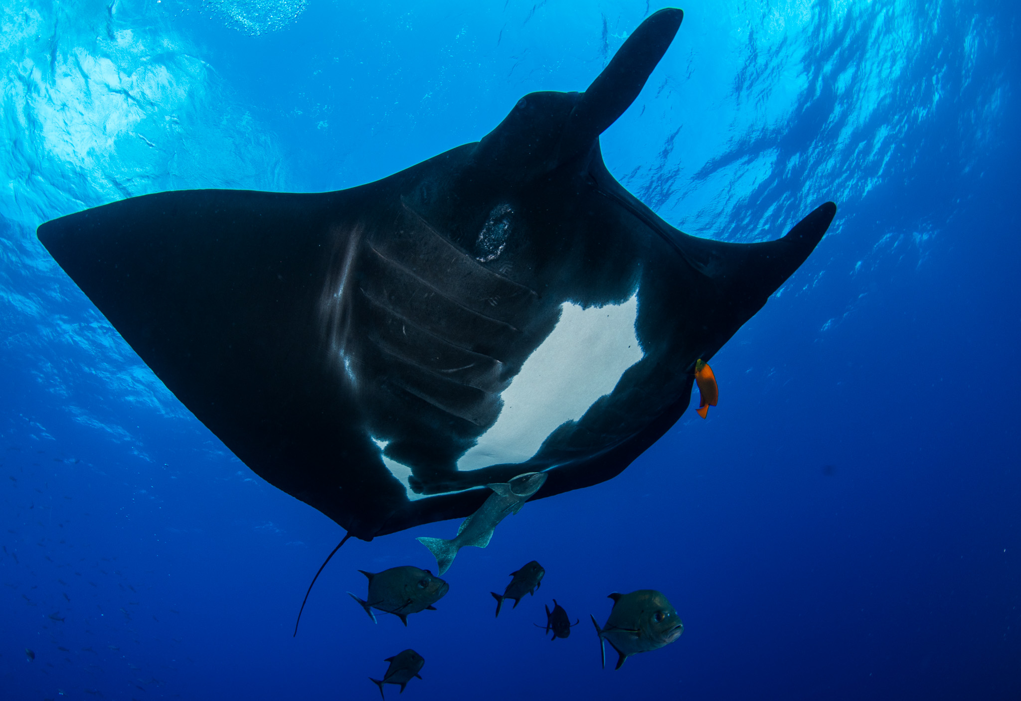 Manta Black Belly Socorro Mexico