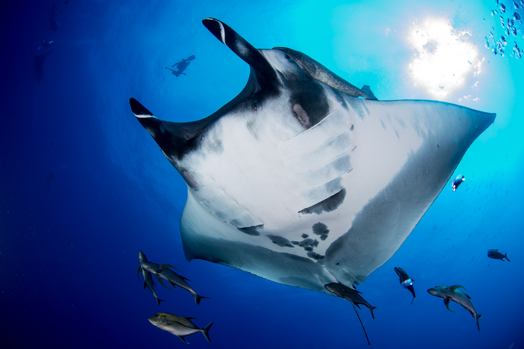 Manta Chevron Belly Socorro Mexico