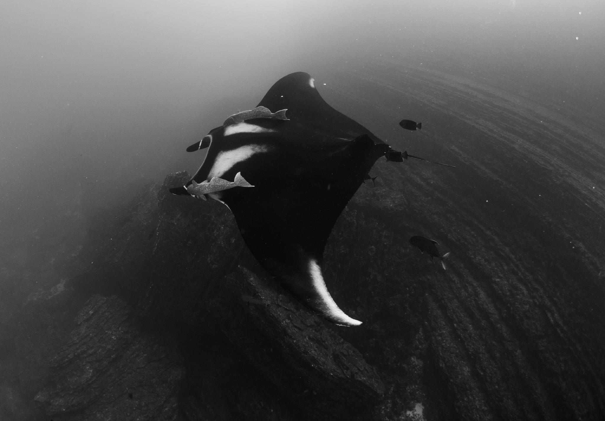Manta Giant Seamount Boiler Socorro Mexico