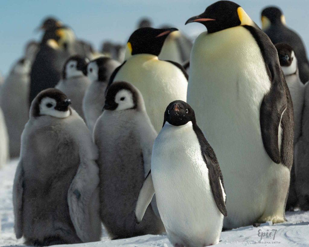 25 Surprising Things to Do Antarctica - Adelie with Emperor Penguin Chicks