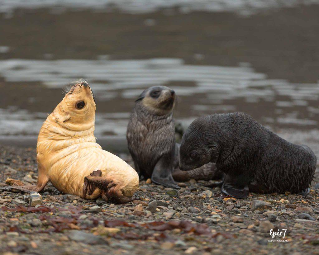 25 Surprising Things to Do In Antarctica - Blondie Fur Seal