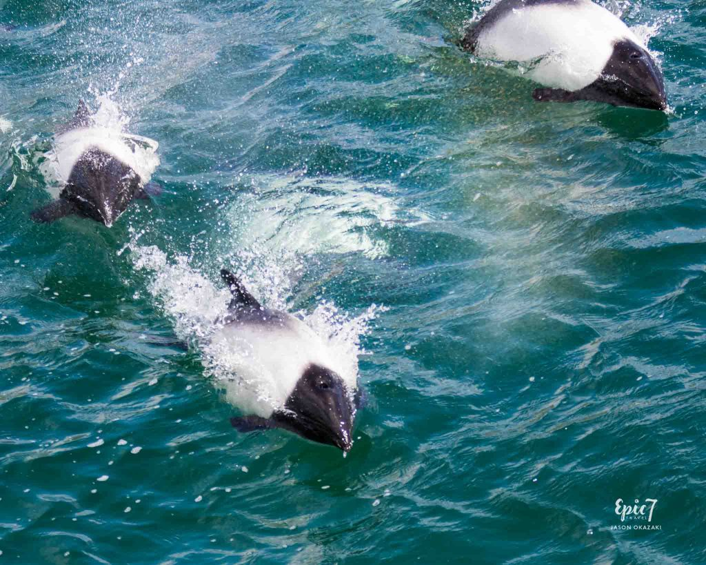 25 Surprising Things to Do In Antarctica - Commerson's Dolphins