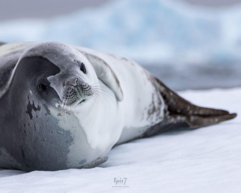 25 Surprising Things to Do Antarctica - Crab Eater Seal