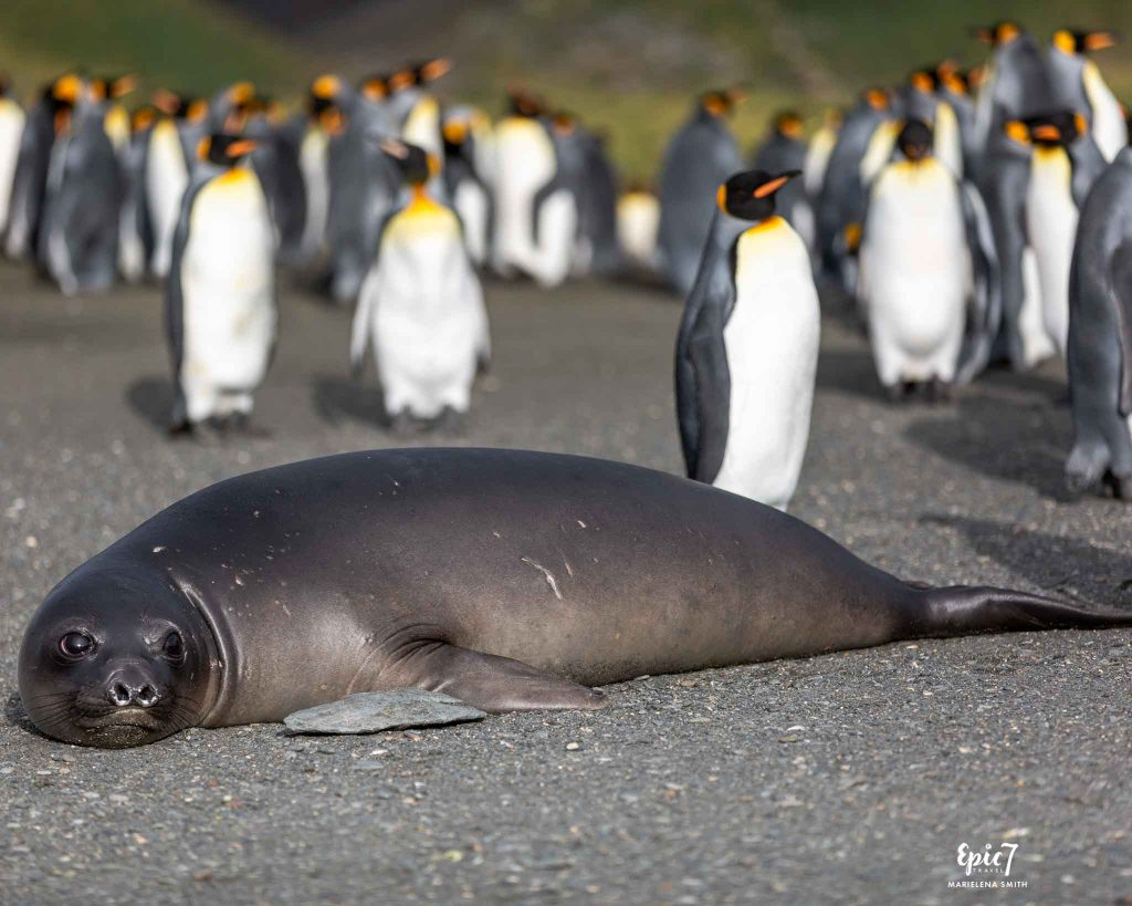 25 Surprising Things to Do Antarctica - Elephant Seal Pup