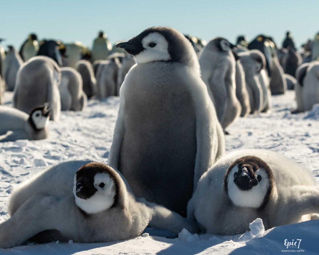25 Surprising Things to Do Antarctica - Emperor Penguin Chick Trio