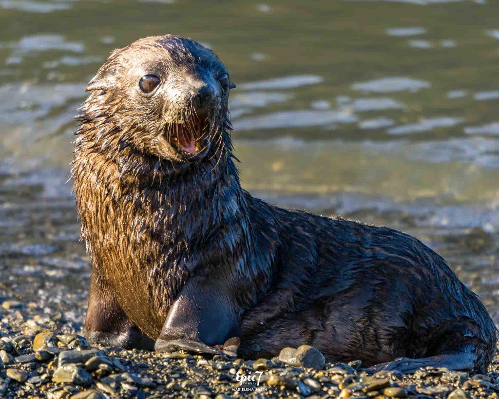 25 Surprising Things to Do In Antarctica - Fur Seal Pup