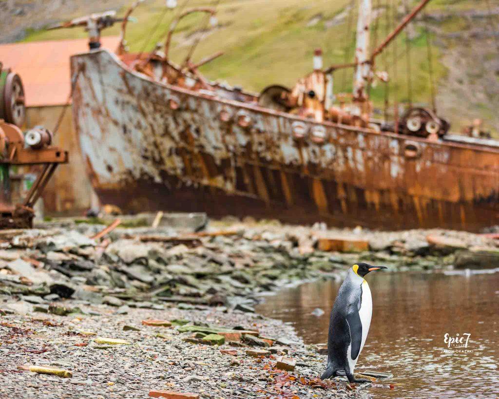 25 Surprising Things to Do In Antarctica - Grytviken King Penguin