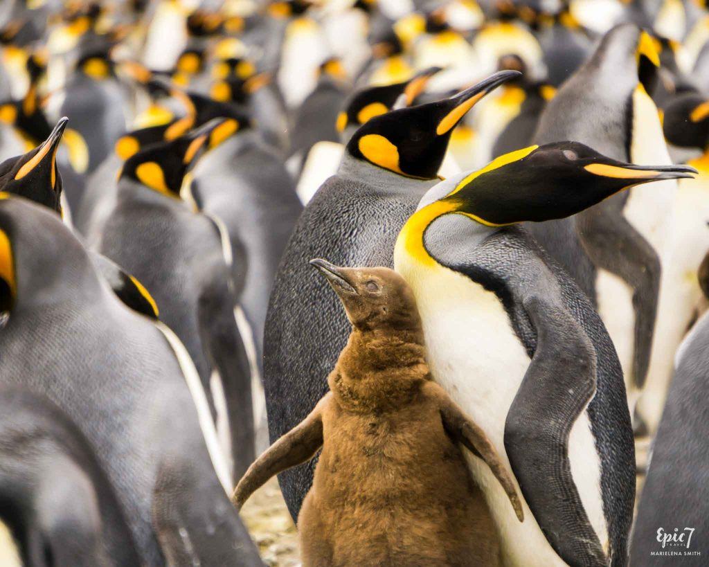 25 Surprising Things to Do In Antarctica - King Penguin Chick Salisbury Plain