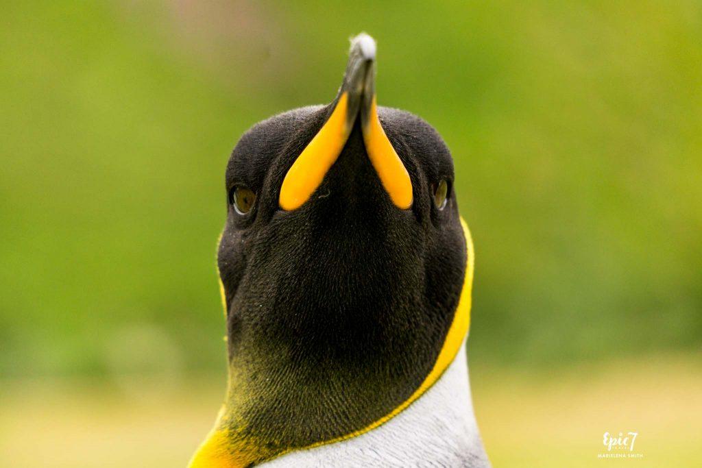 25 Surprising Things to Do In Antarctica - King Penguin Portrait Salisbury Plain