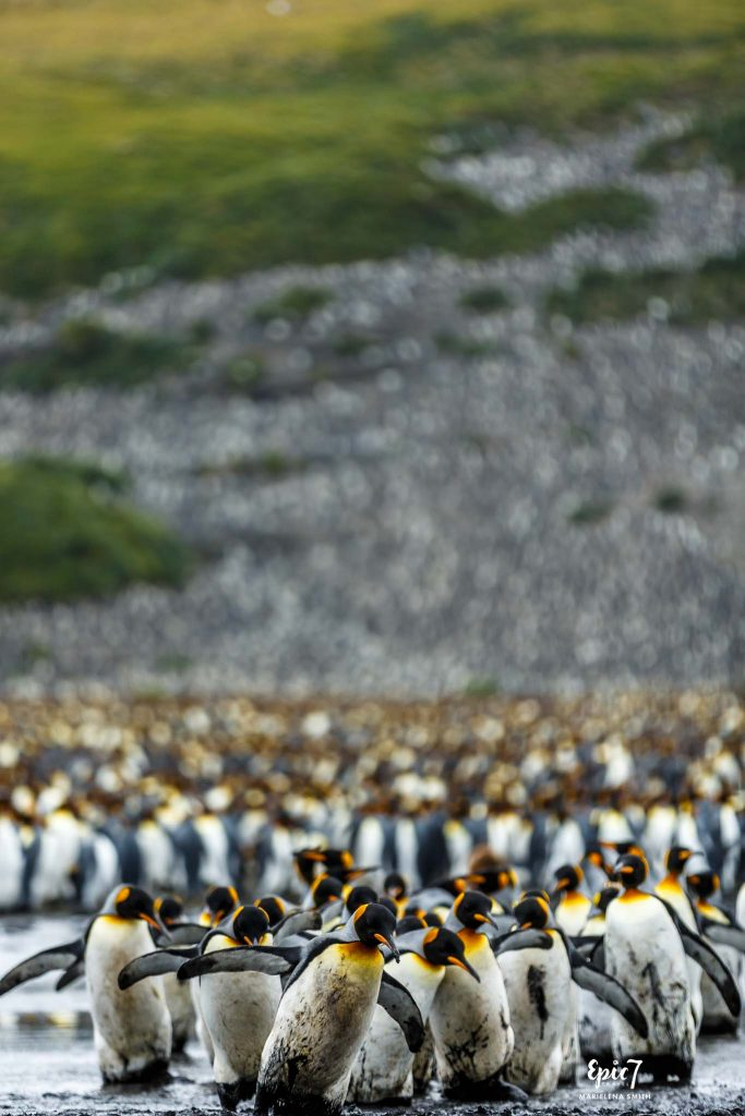 25 Surprising Things to Do Antarctica - Muddy King Penguins Salisbury Plain