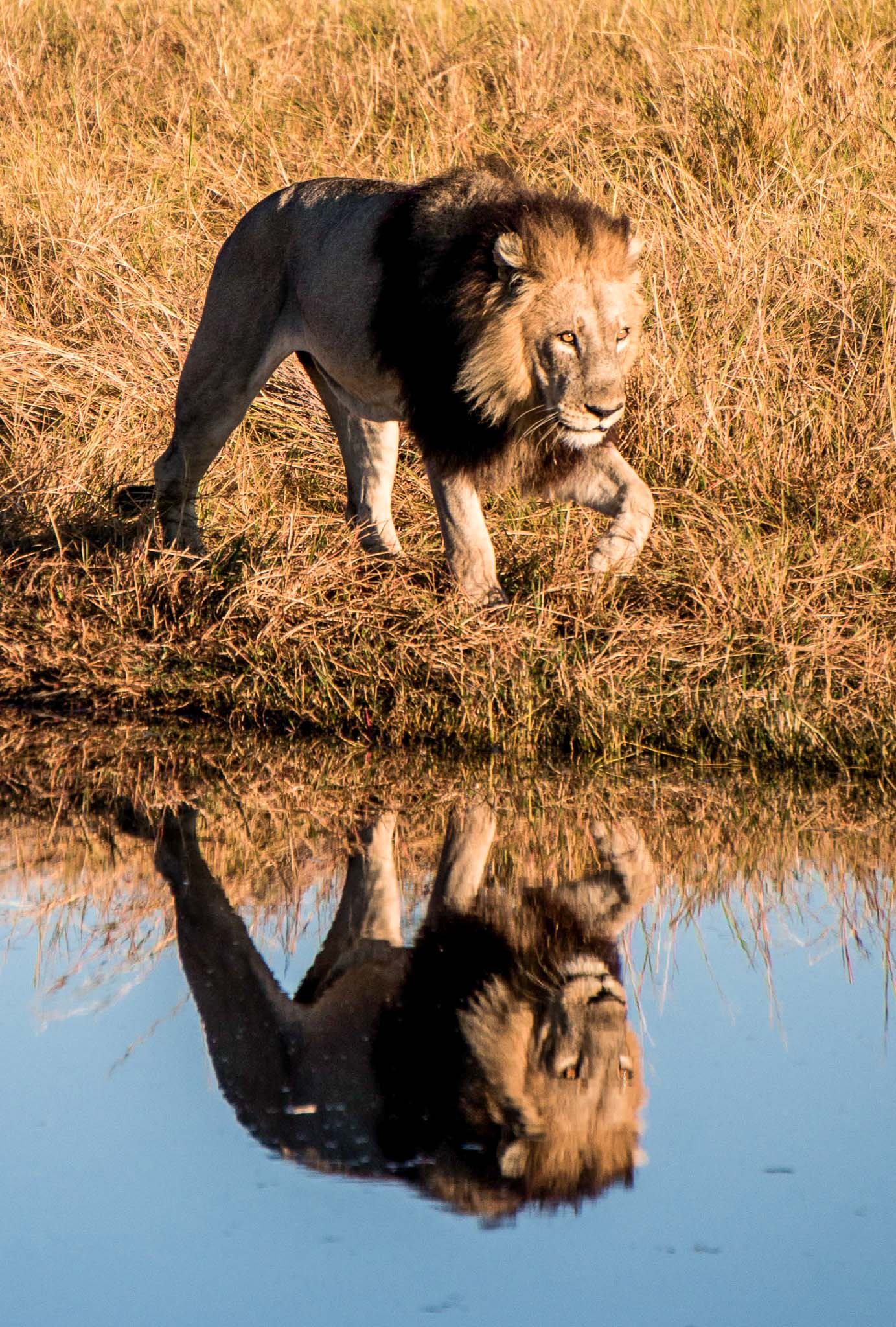Lion reflection Botswana safari