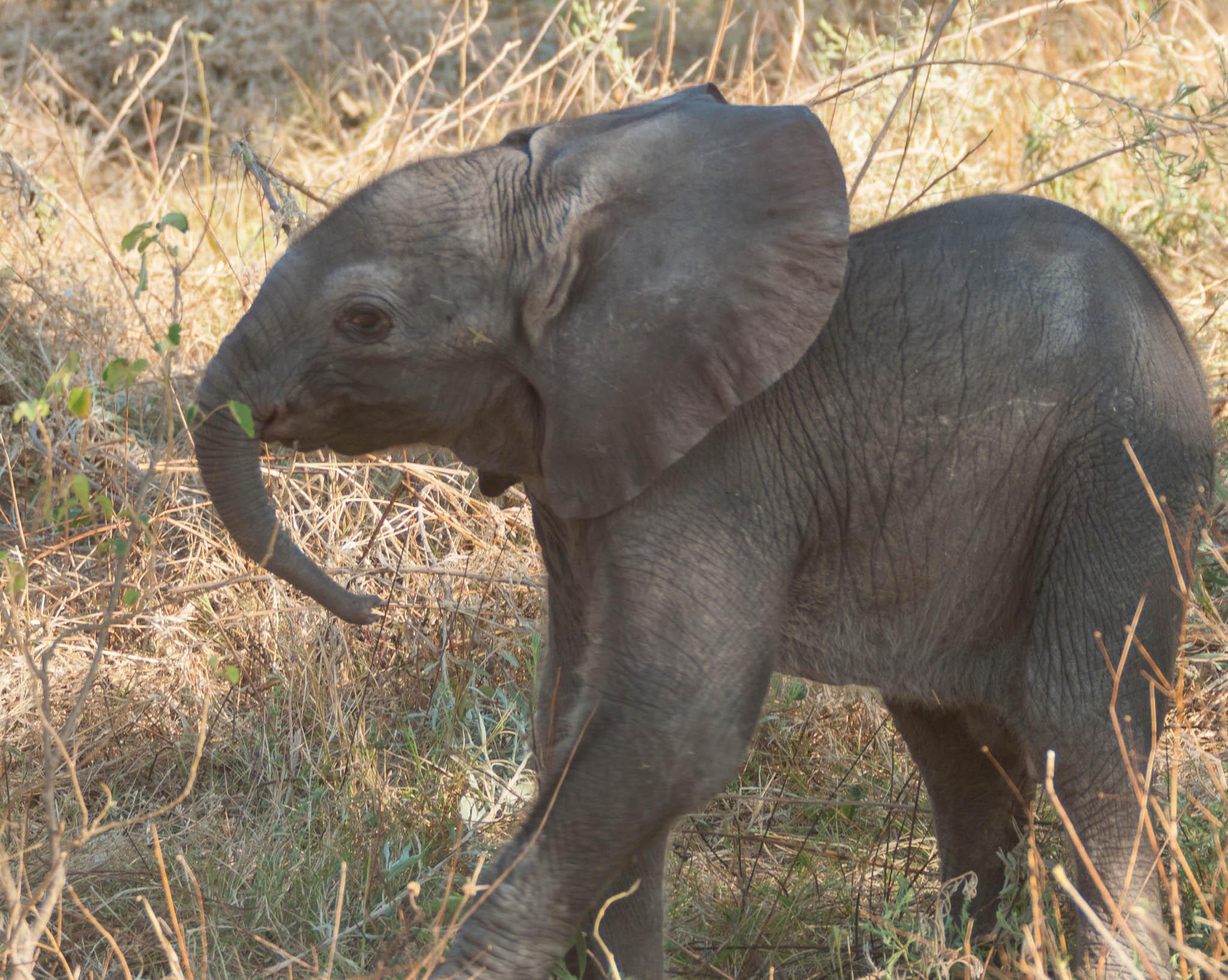 Elephant baby Botswana safari