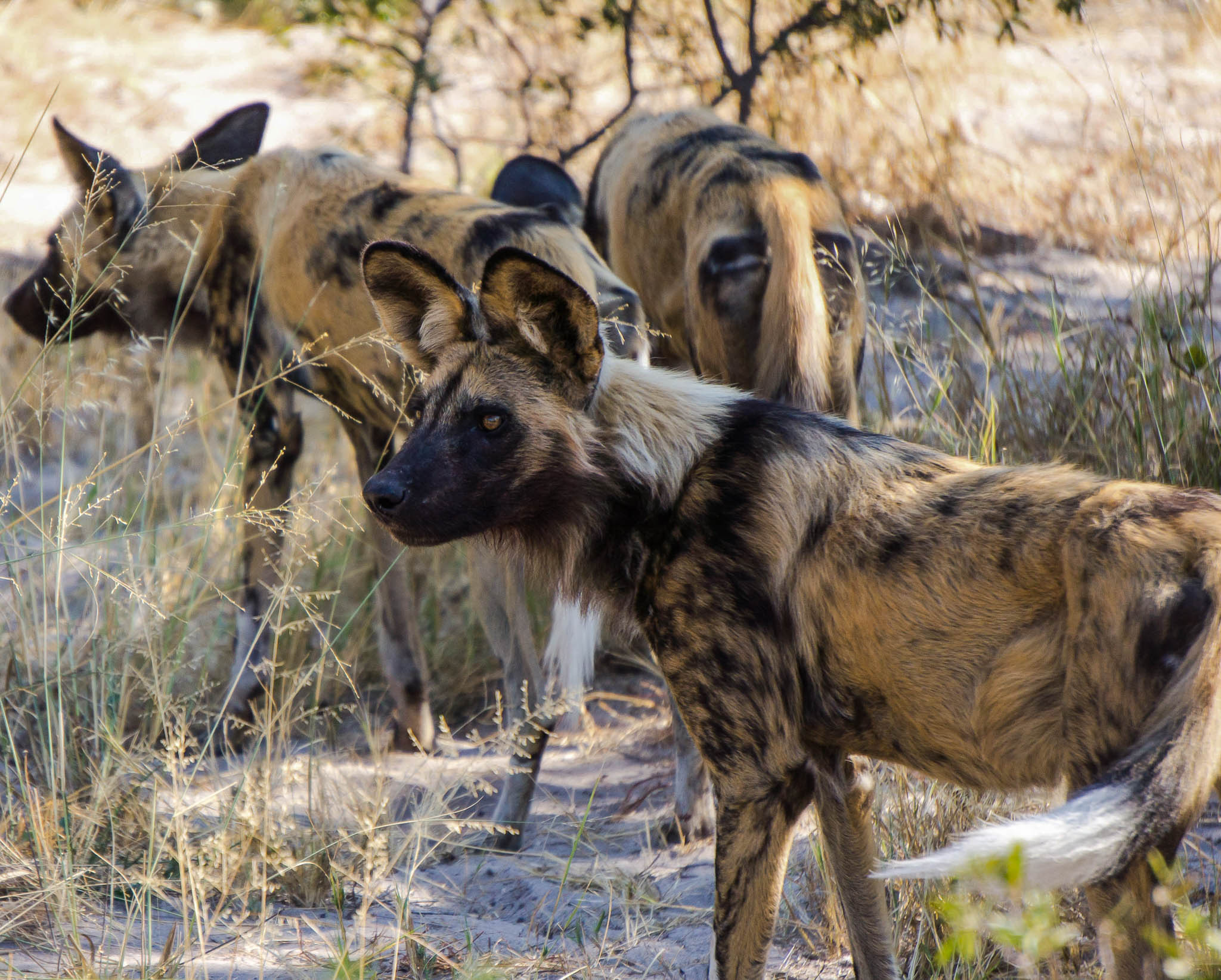African Wild Dog Botswana Safari