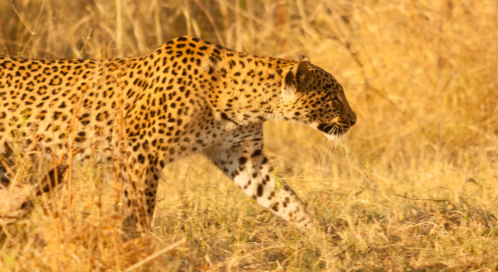 Leopard hunting Botswana safari