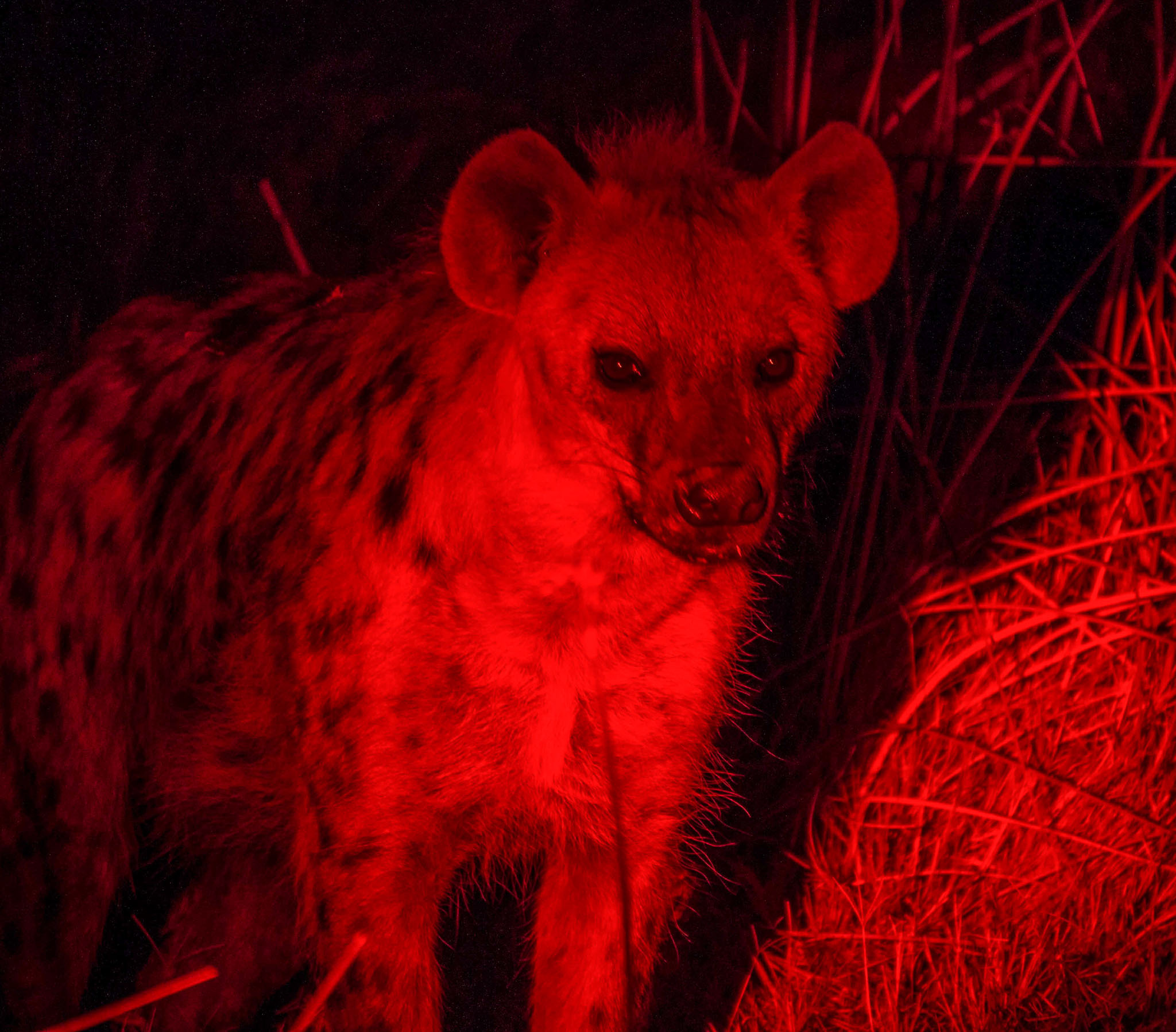 Hyena lurking Botswana safari