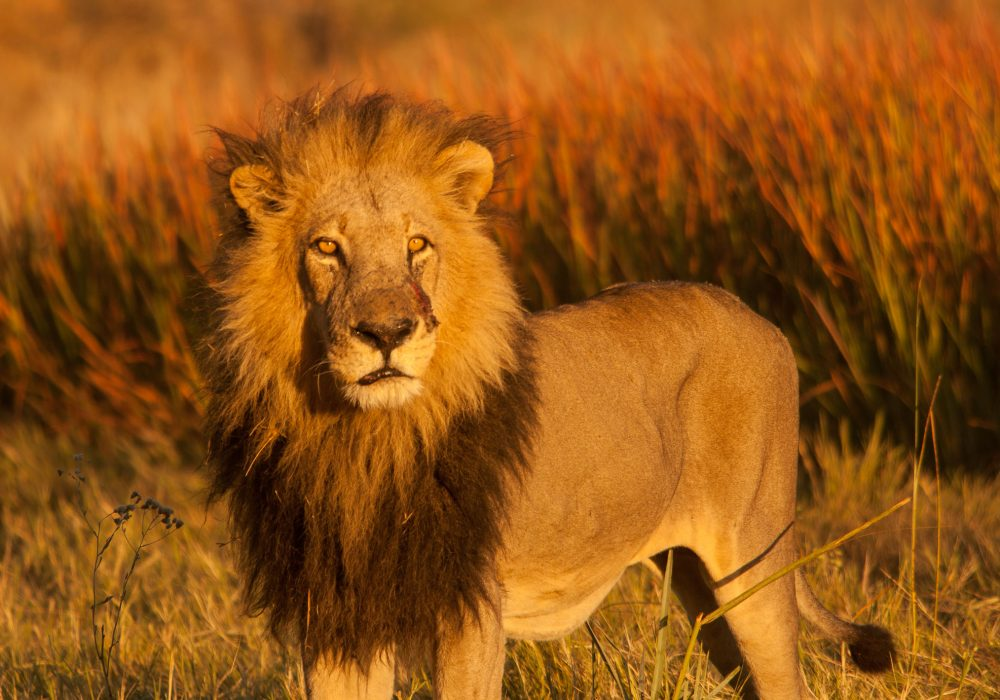 Lion Botswana Golden Hour