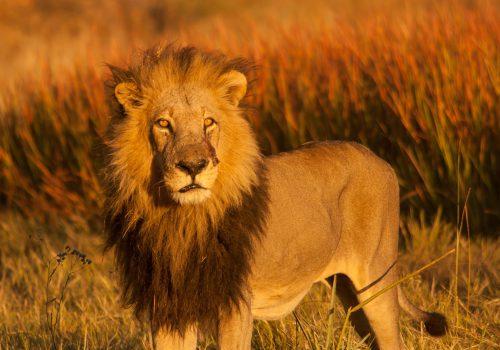 Lion Botswana Golden Hour