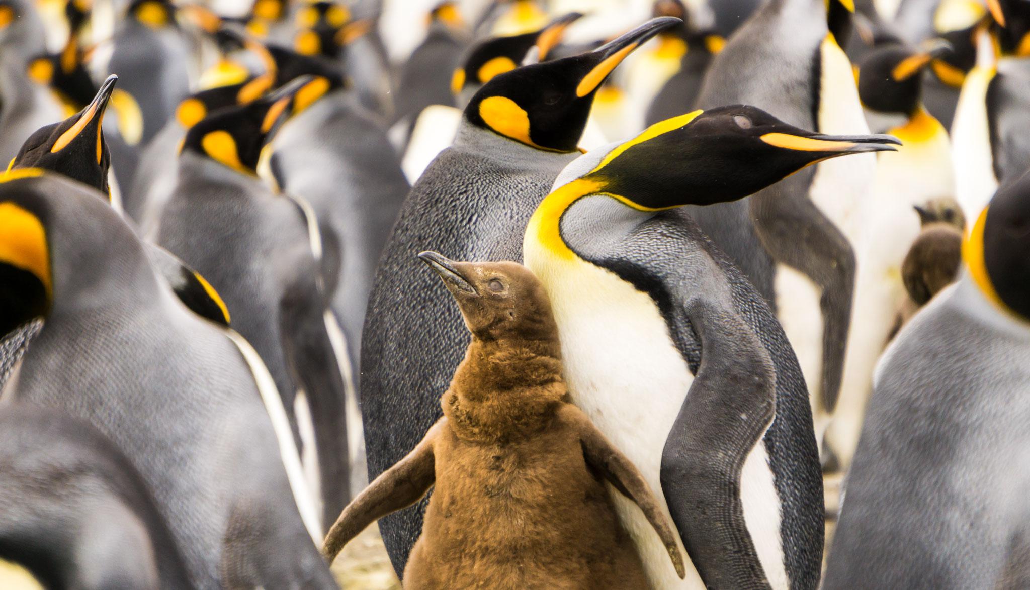 Penguin King Chick Salisbury Plain South Georgia Antarctica