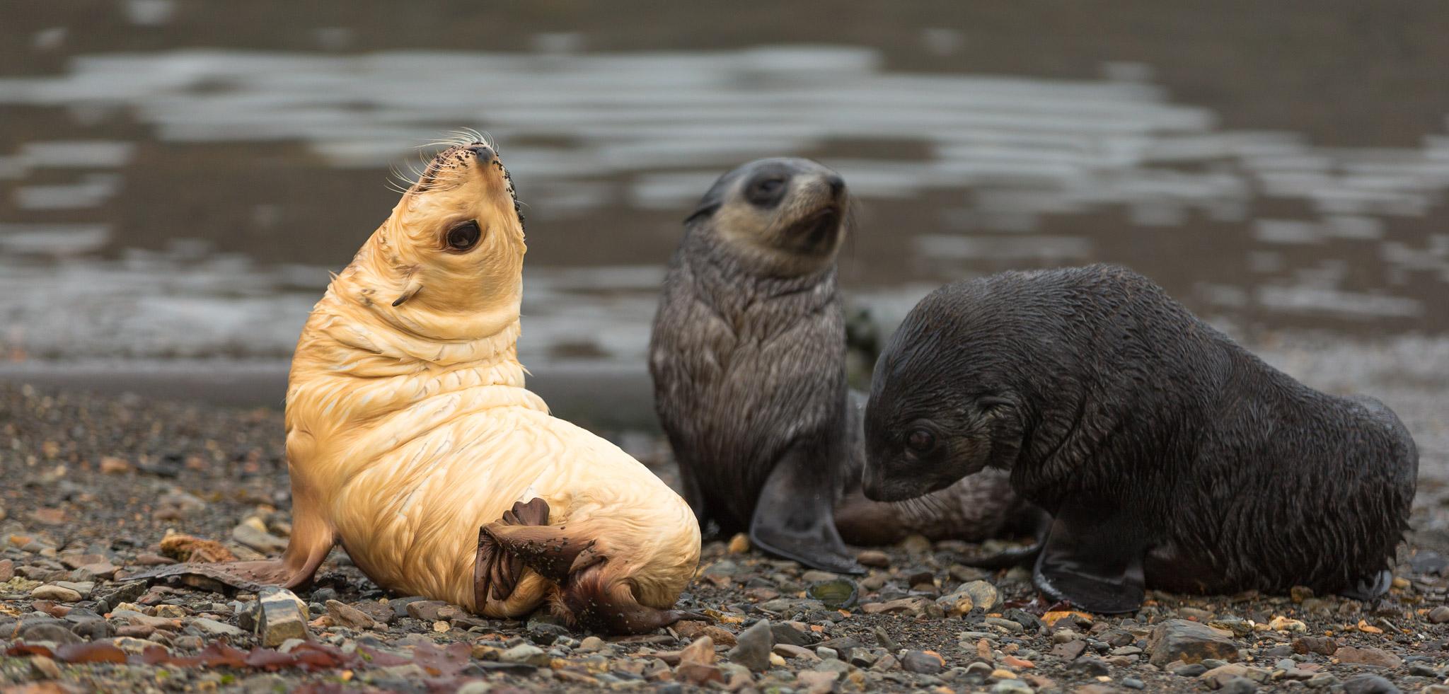 Seal Blondie Pup South Georgia Antarctica