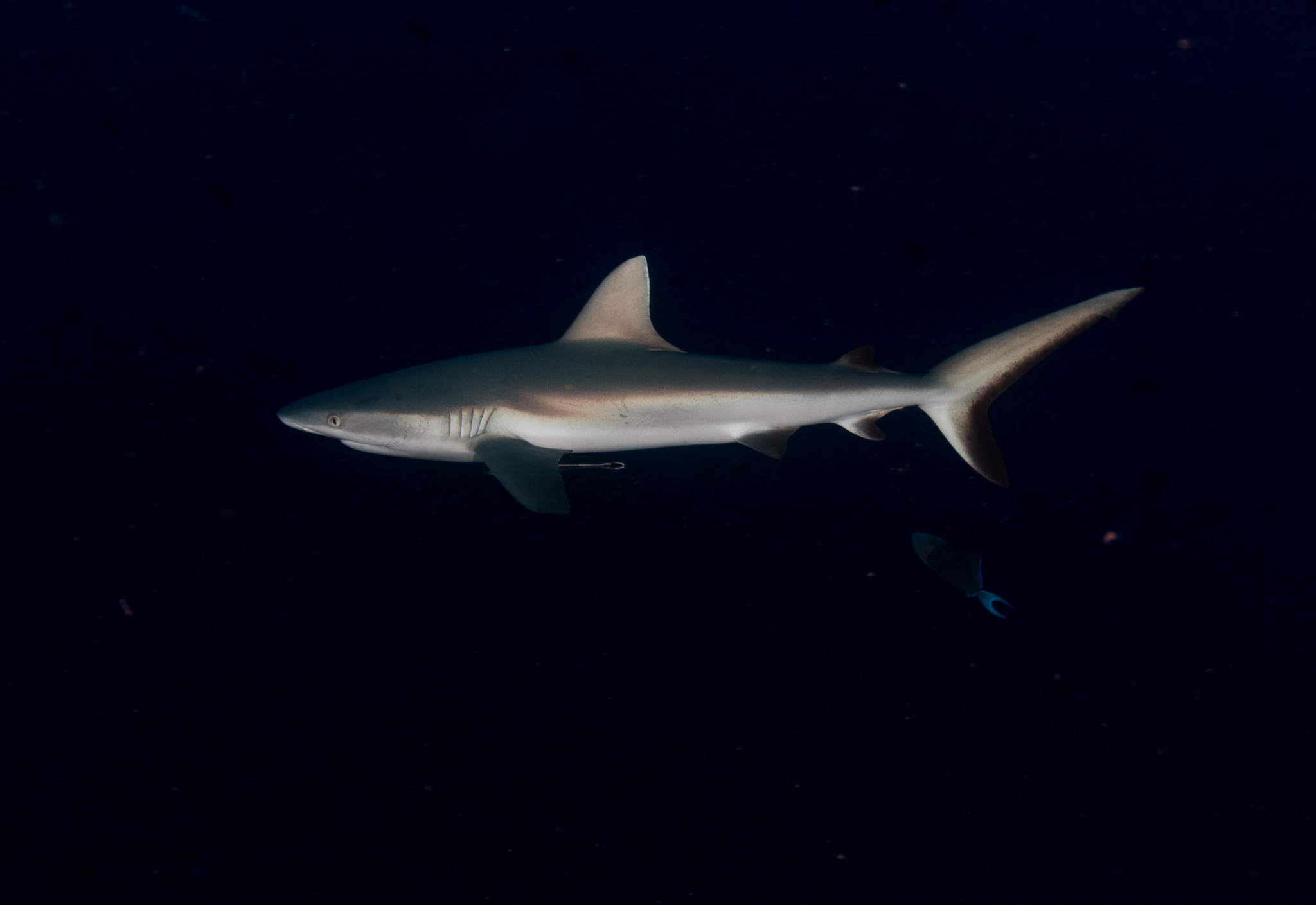 Grey Reef Shark Blue Corner Palau