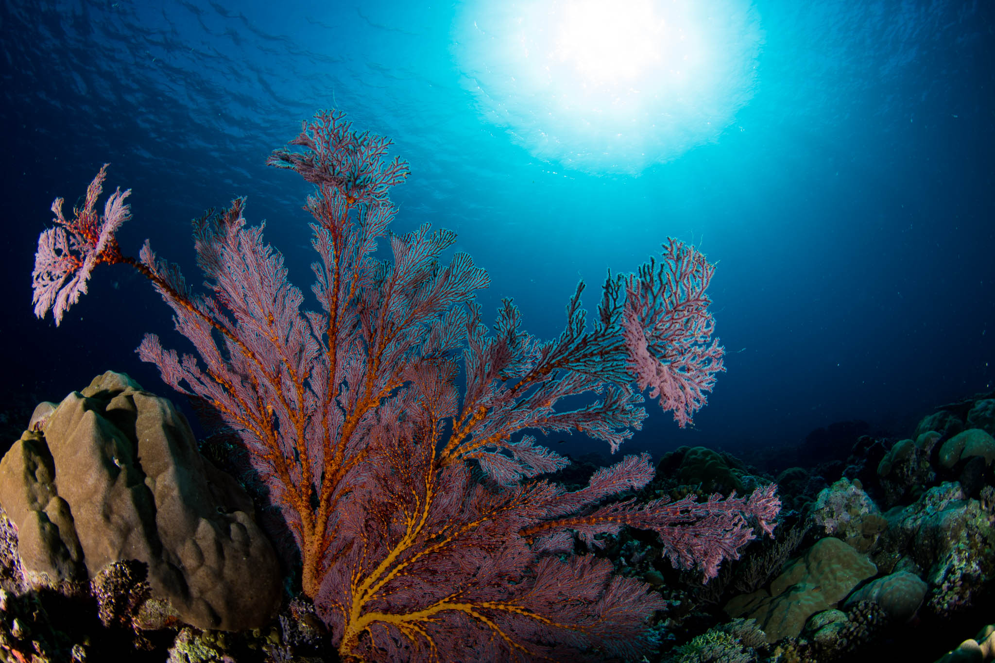 Sea Fan Sunburst while diving in Palau Ulong Channel