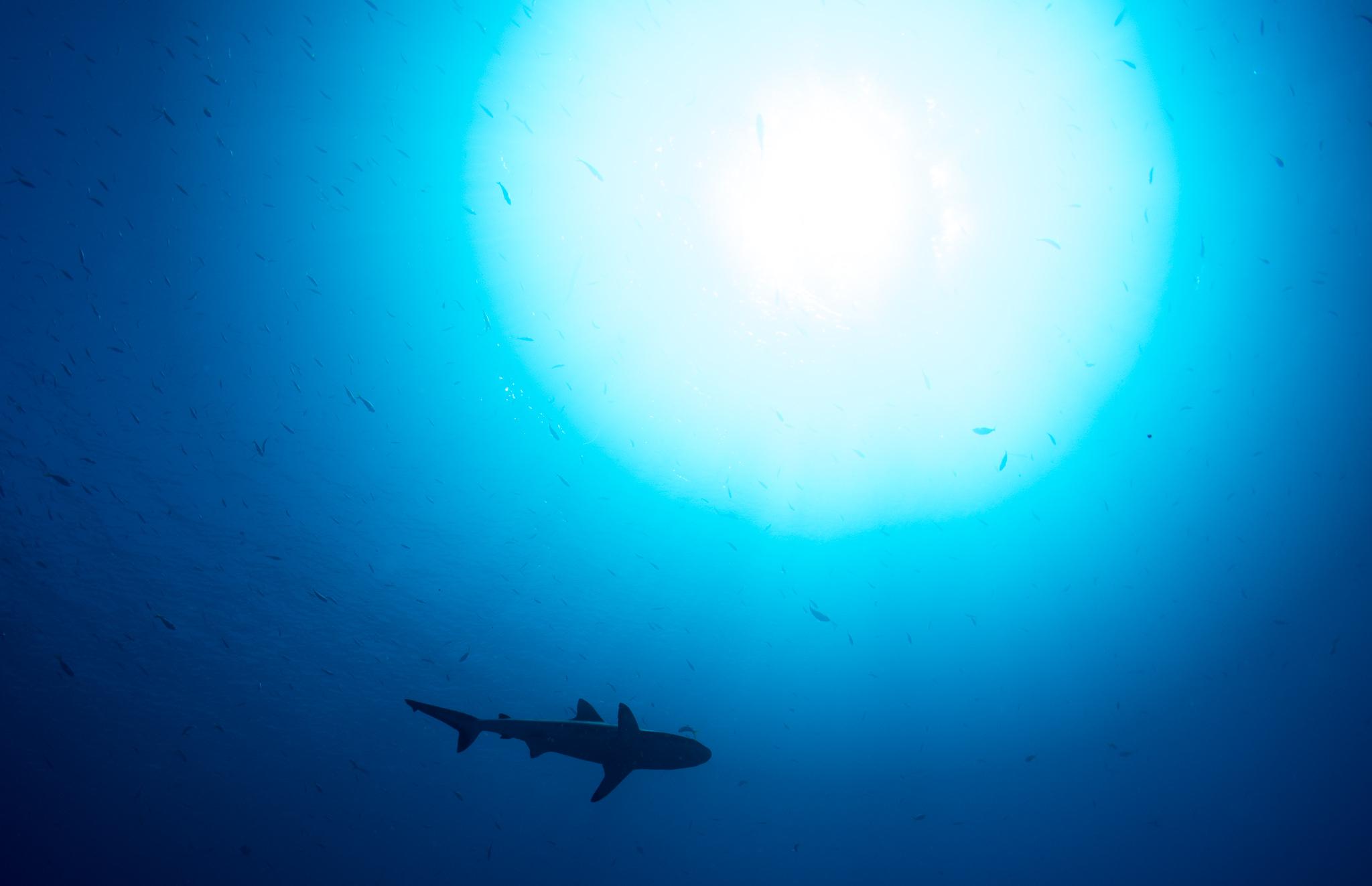Shark Silhouette Blue Corner Palau