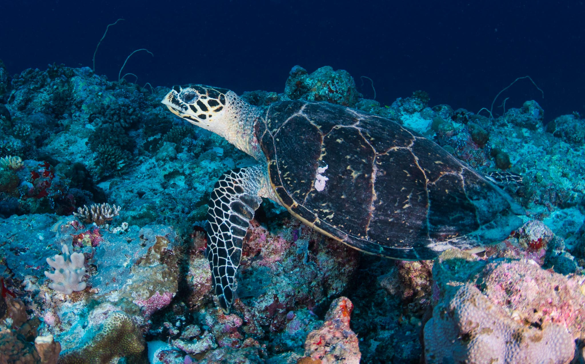 Turtle Hawksbill Eating Coral Palau