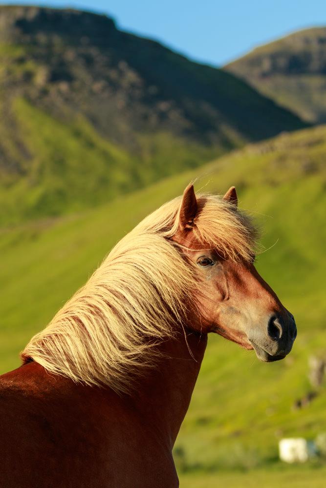 Iceland_Icelandic_Horse_Landscape