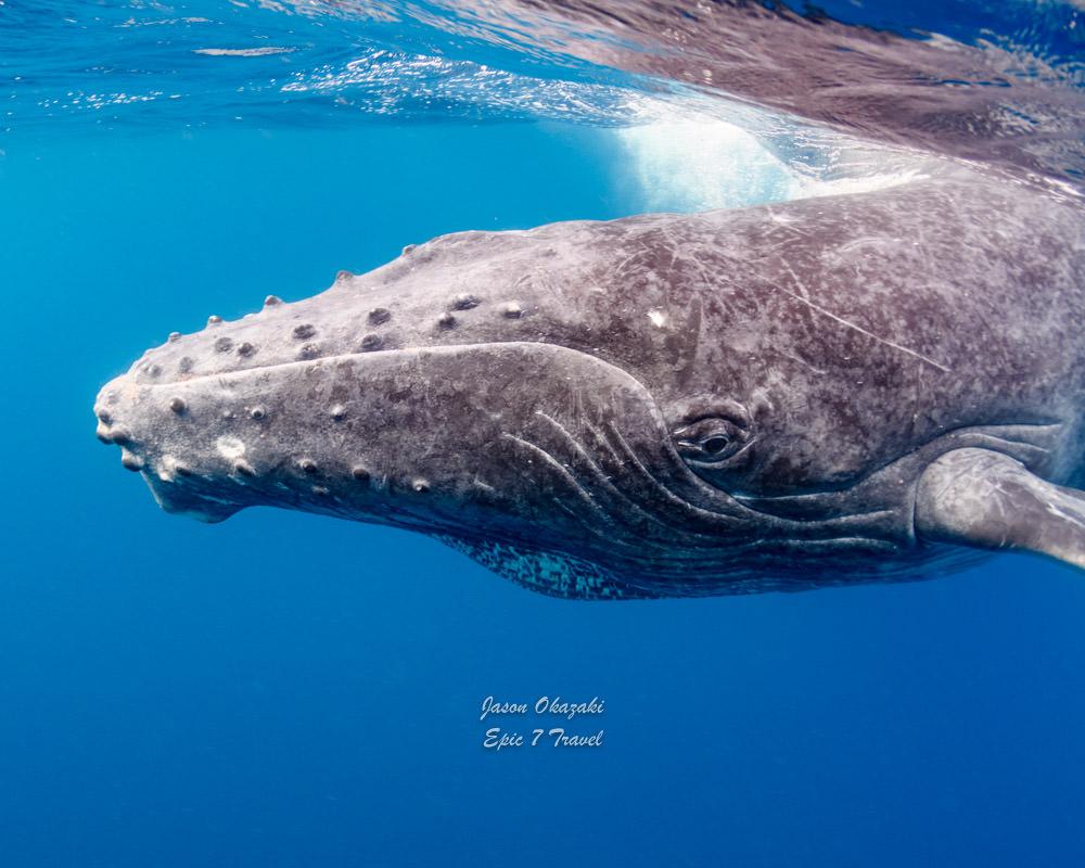 Tonga_Humpback_Whale_Calf_Closeup