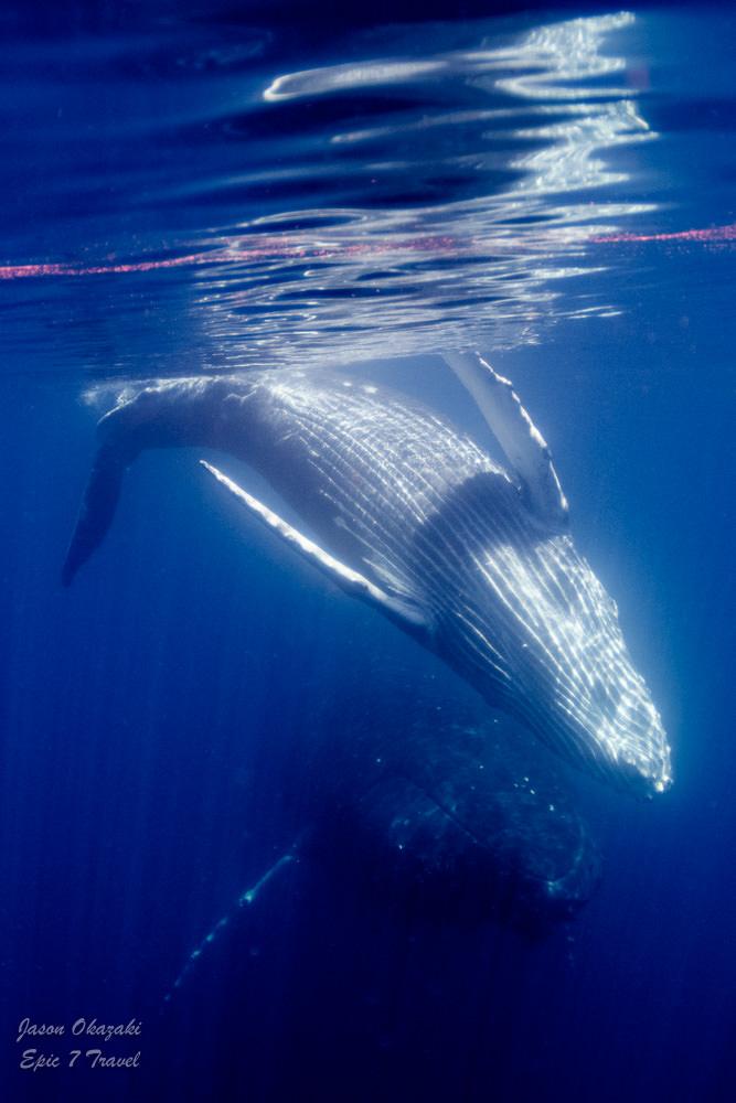 Tonga_Humpback_Whale_Calf_Spinning