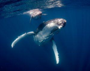 Tonga_Humpback_Whales_Mum_Calf