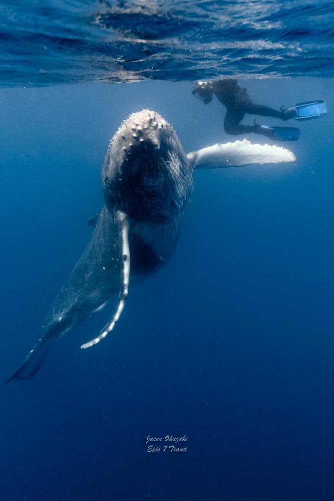 Tonga_Humpback_Whales_Mum_Calf_Chris