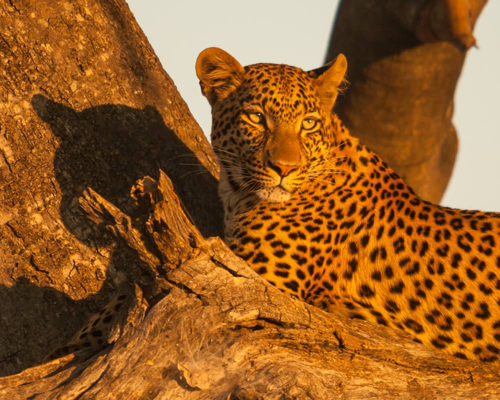 Photography Tips Golden Hour Leopard Botswana