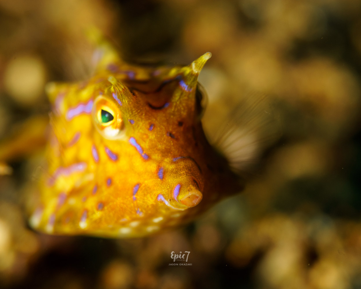Anilao_Diving_Cowfish_Long-Horned