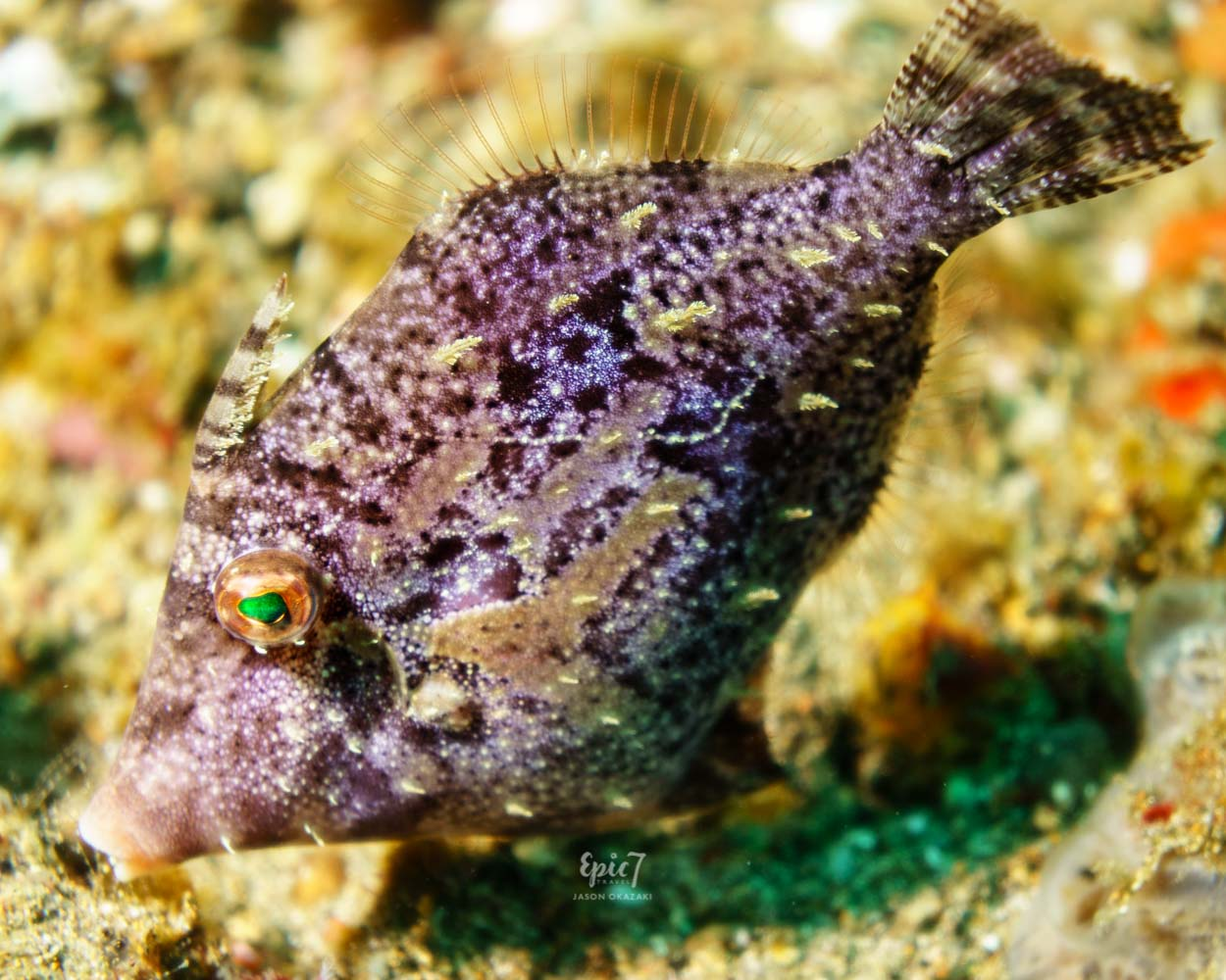 Anilao_Diving_Filefish_Purple