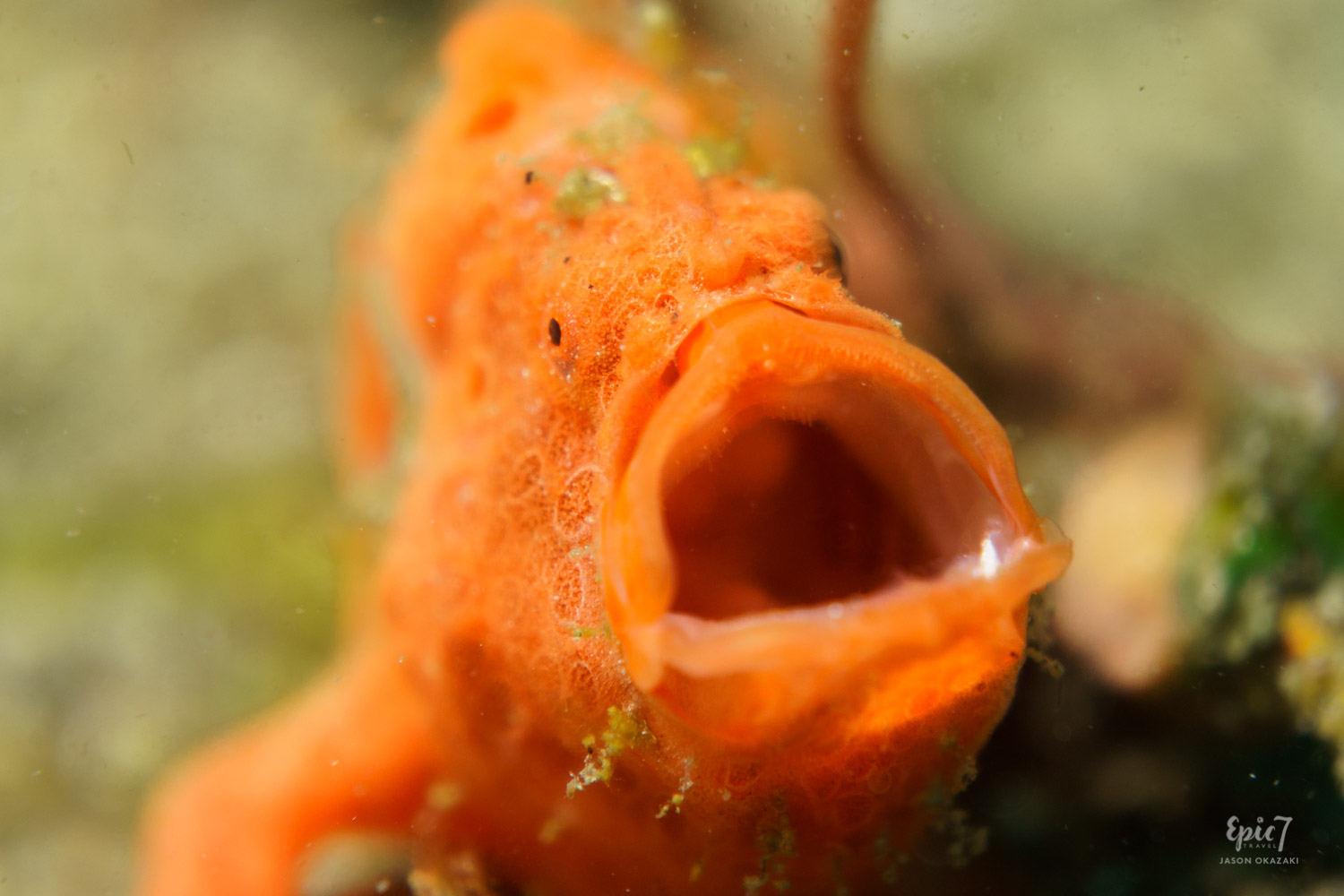 Anilao_Diving_Frogfish_Orange_Yawning