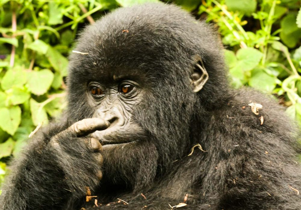 Mountain Gorilla_Baby_Nose