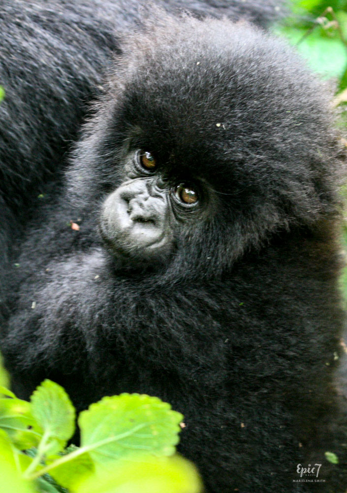 Mountain Gorilla_Rwanda_ Baby_Back_Eyes