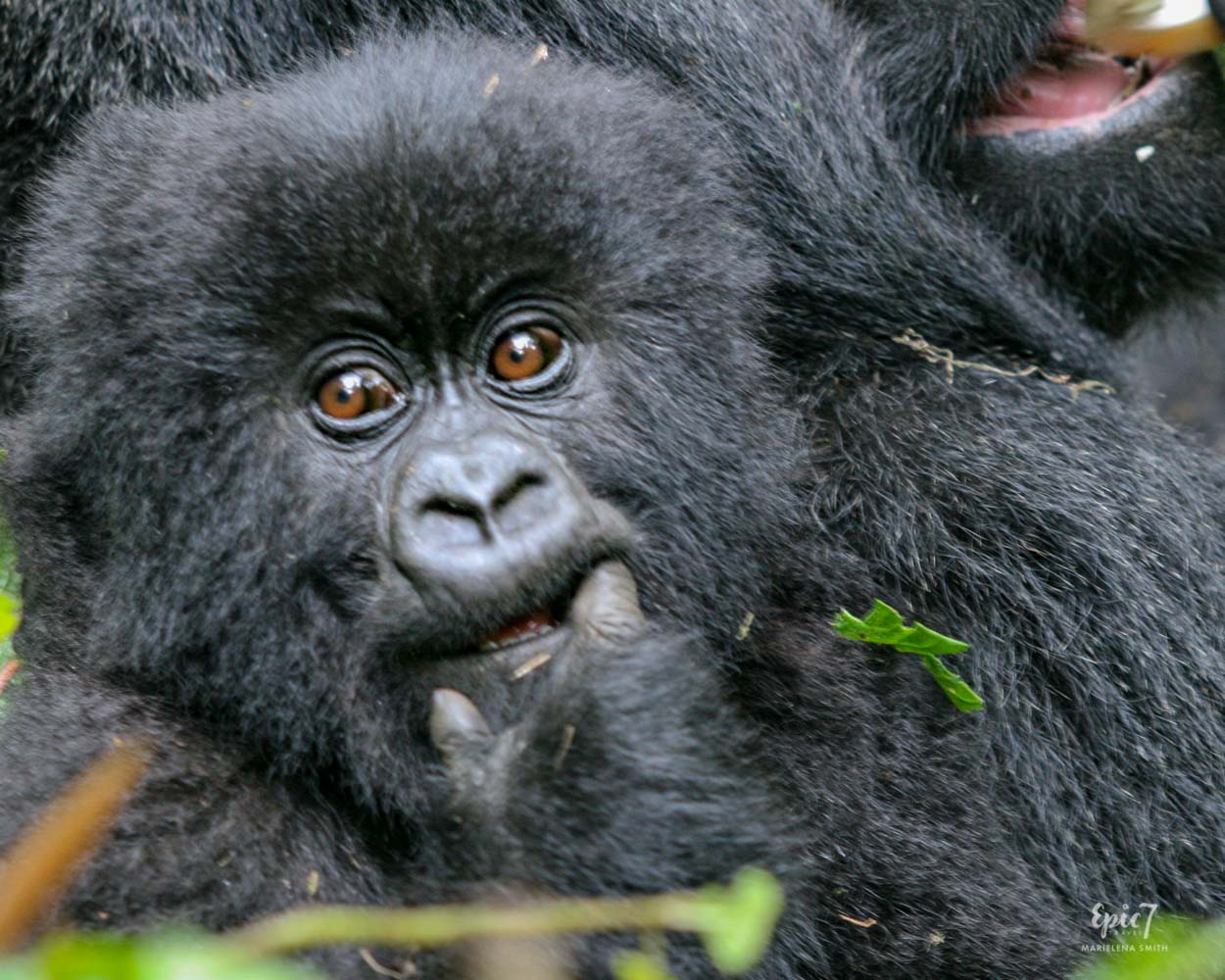 Mountain Gorilla_Rwanda_Baby_Mom_Back_Finger