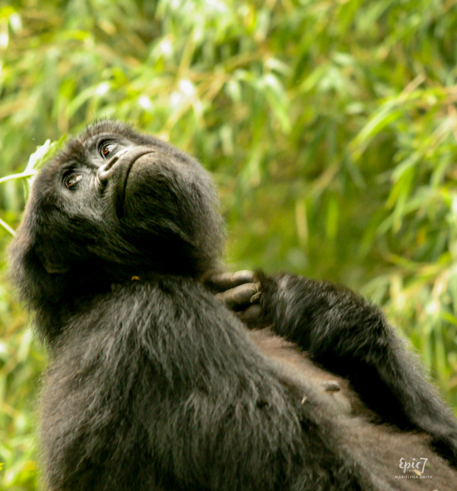 Mountain Gorilla_Rwanda_Female_Contemplating
