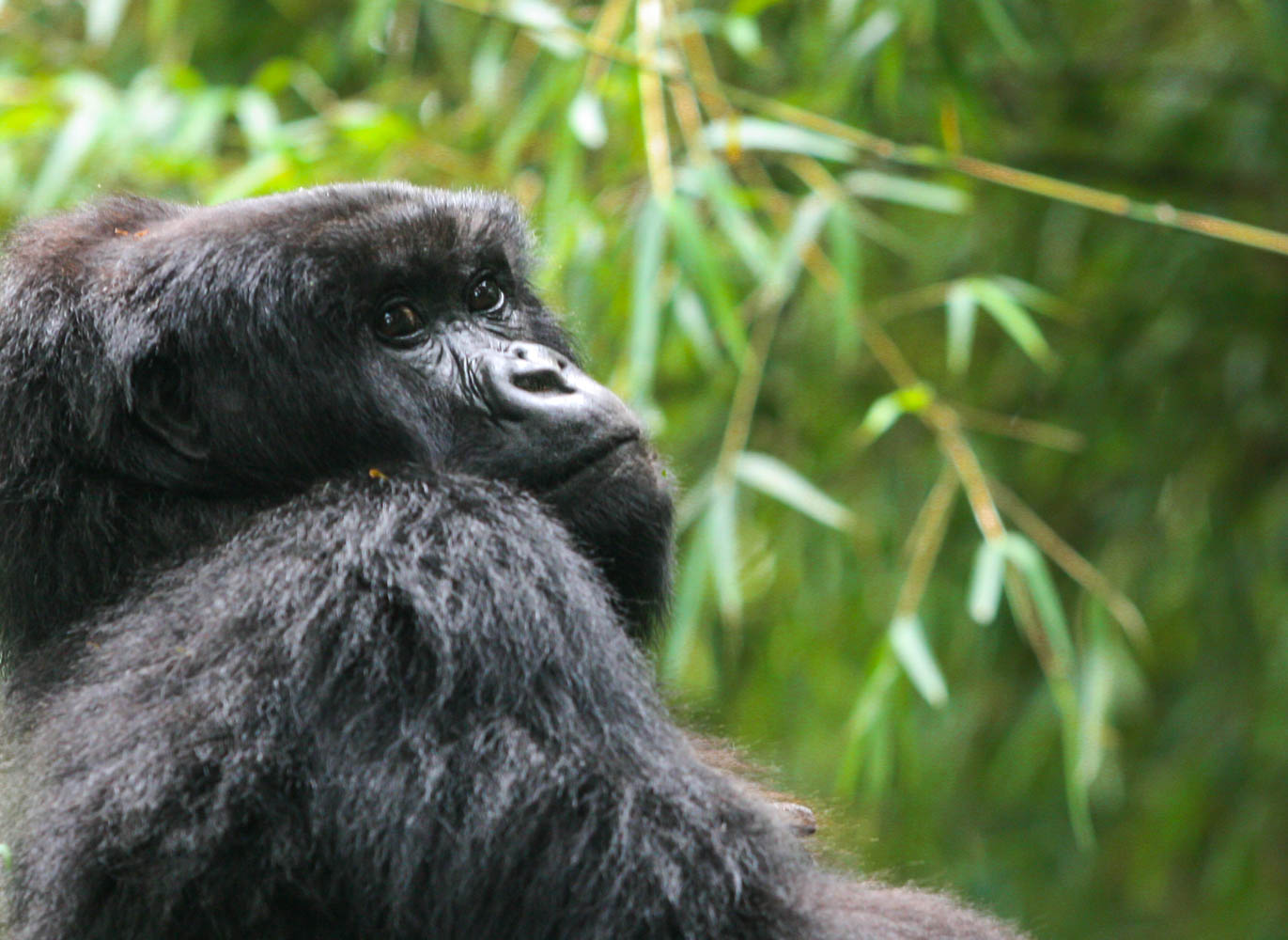 Mountain Gorilla_Rwanda_Female_Contemplative