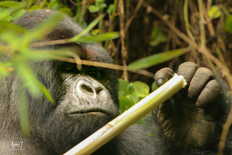 Mountain Gorilla_Rwanda_Silverback_Thinker