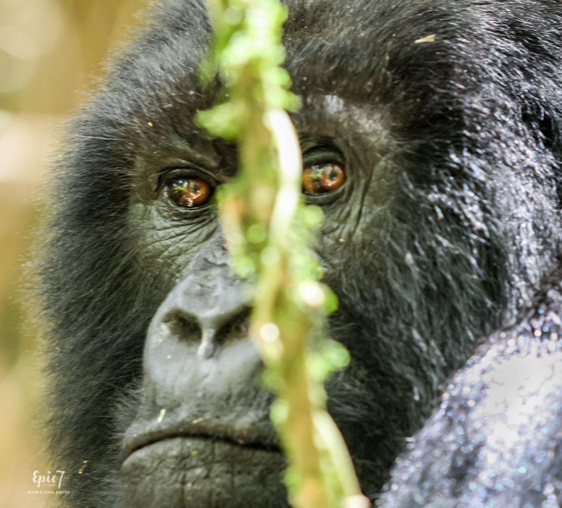 Mountain Gorilla_Rwanda_Silverback_Eyes
