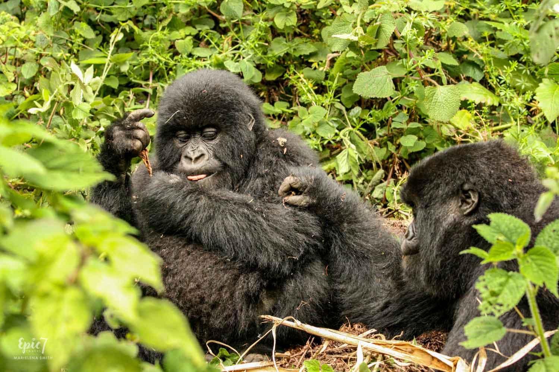Mountain_Gorilla_Rwanda_Twins