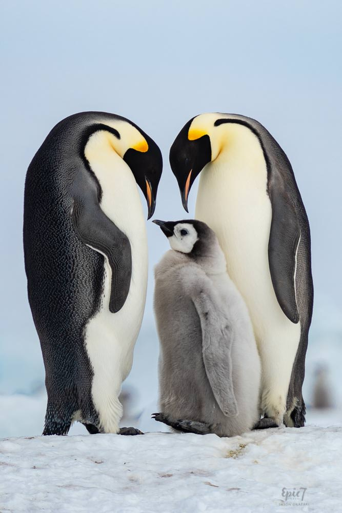 Antarctica Photography Tips_Emperor Penguin Family Photo