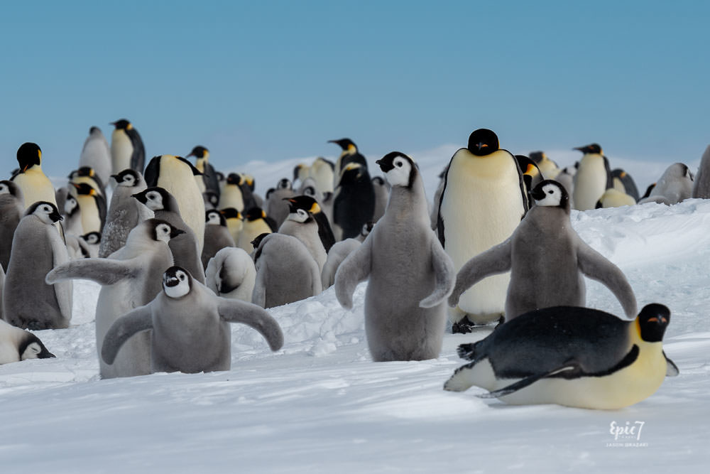 Antarctica Photography Tips_Emperor Penguin Photobomber