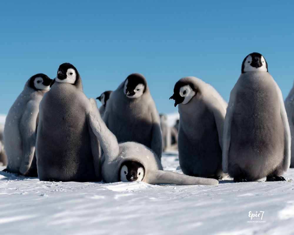 Antarctica Photography Tips_Lounging Emperor Penguin Chick
