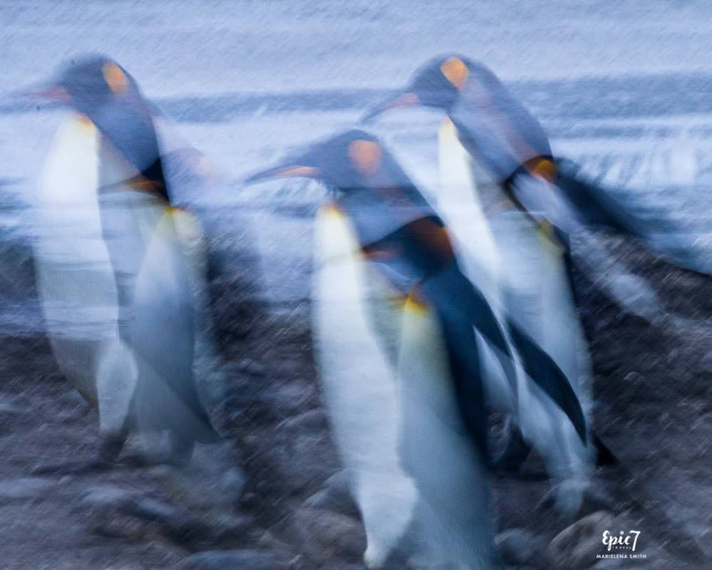 Antarctica Photography Tips_Salisbury Plain King Penguin Abstract Movement