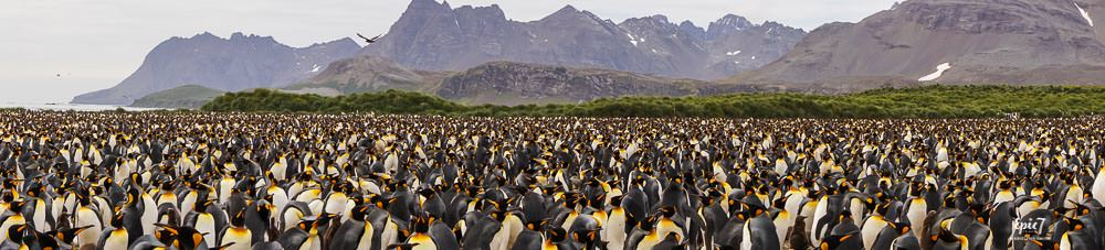 Antarctica Photography Tips_Salisbury Plain King Penguin Panoramic