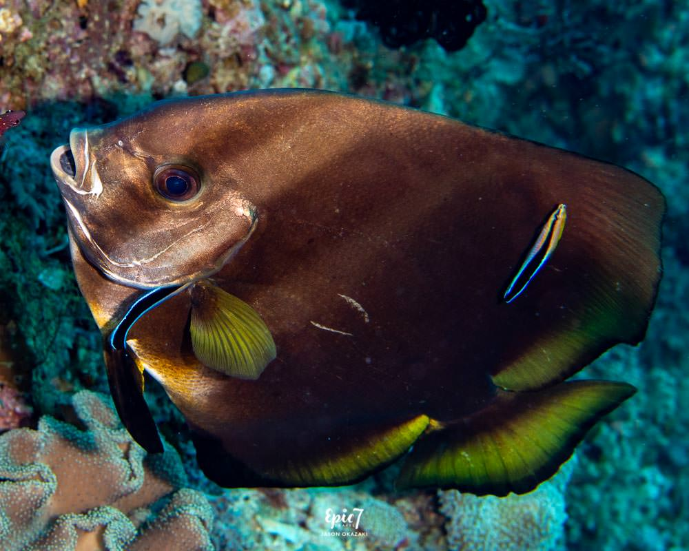 batfish being cleaned by a cleaner wrasse